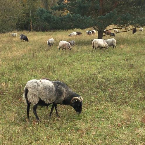 Schafe I