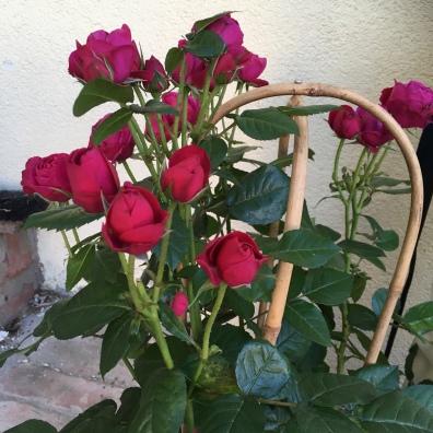 Rose, einzupflanzen.